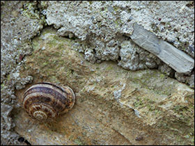 Helix aspersa in France